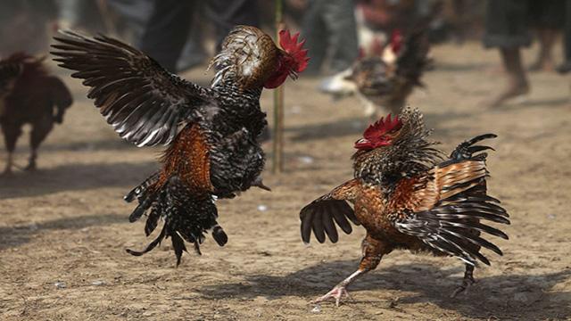 Permainan Seru Sabung Ayam Online